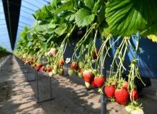 [고령]쌍림 딸기 첫 수확의 기쁨